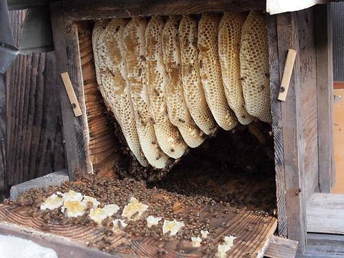 日本みつばちの蜂蜜採取